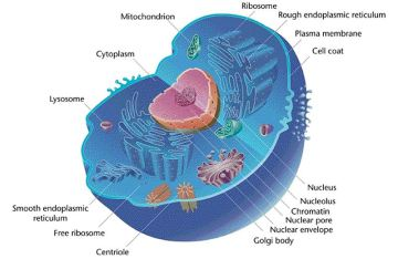 800px-eukaryotic_cell_animal