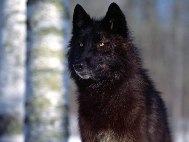 black-wolf-in-forest-kewl-4