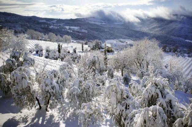 777_Montalcino-olivi-con-la-neve