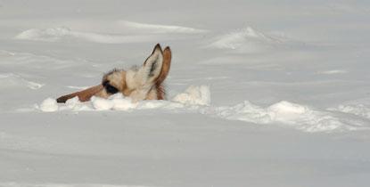 David-Grubbs-prong-deep-snow---Billings-Gazette-415px